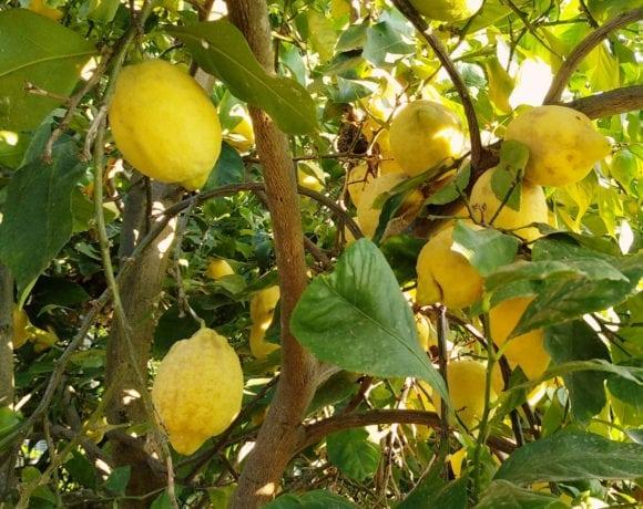 limonero en agosto